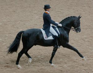 World dressage champion Totilas - a Dutch Warmblood