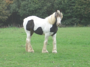 'Jubilee', piebald yearling filly, traditional type