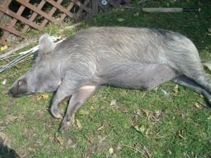 Piggles