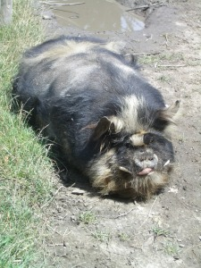 Kuna kuna pig, meaning 'great fat pig' - you'll spot these in the village of Bree, near Hobbiton in the Shire