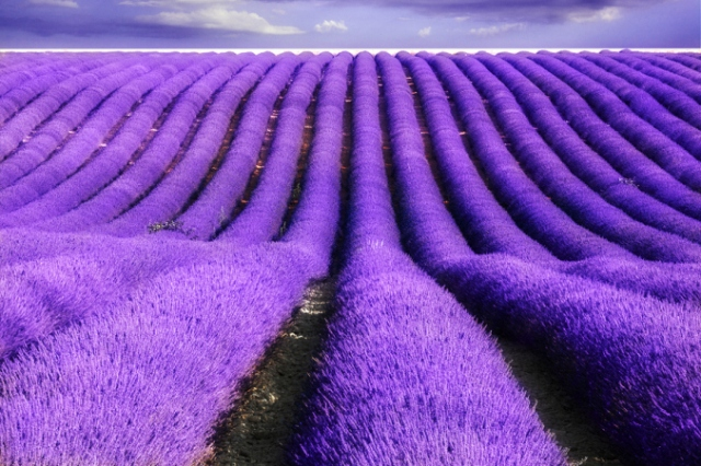 82406_lavenderflowersflowerweb10